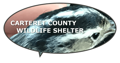 hurt and injured wildlife carteret county nc